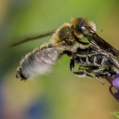 Wildbiene Natterkopf Mauerbiene im Anflug