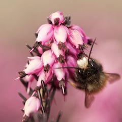 Osmia Cornuta Gehörnte Mauerbiene auf Blüte