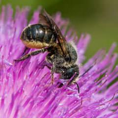 Wildbiene auf Blume