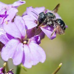 Wildbiene Schötterich Mauerbiene auf Blüte