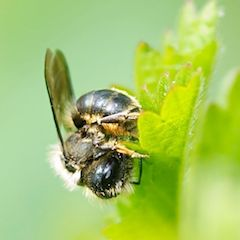 Wildbiene stahlblaue Mauerbiene auf Blatt