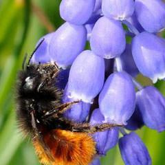 Blumen und Stauden für Wildbienen Traubenhyazinthen