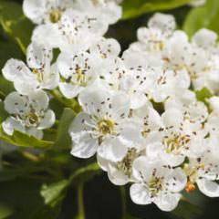 Blumen und Stauden für Wildbienen Weissdorn