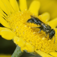 Weibchen an Anthemis tinctoria