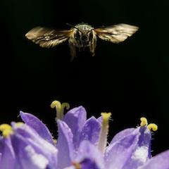 Glockenblumen Scherenbiene Wildbiene im Anflug auf Blume