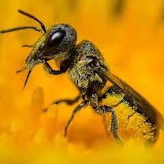 Wildbiene Löcherbiene